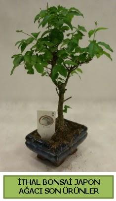 İthal bonsai japon ağacı bitkisi  Rize çiçekçi mağazası