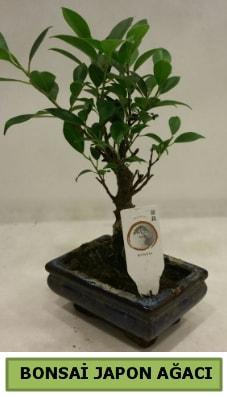 Bonsai japon ağacı saksı bitkisi  Rize internetten çiçek satışı