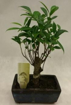 Japon ağacı bonsai bitkisi satışı  Rize çiçek online çiçek siparişi