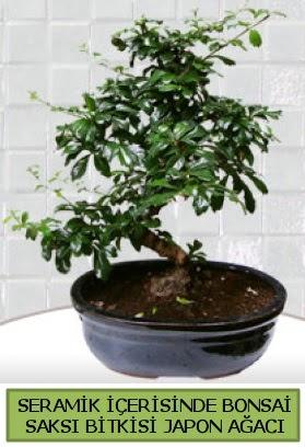Seramik vazoda bonsai japon ağacı bitkisi  Rize online çiçekçi , çiçek siparişi