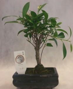 Bonsai japon ağacı bitkisi satışı  Rize 14 şubat sevgililer günü çiçek