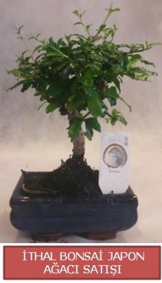İthal küçük boy minyatür bonsai ağaç bitkisi  Rize çiçek online çiçek siparişi