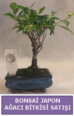 İthal Bonsai japon ağacı bitkisi satışı  Rize uluslararası çiçek gönderme