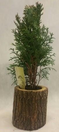 SINIRLI STOK Selvi Bonsai Doğal kütükte  Rize uluslararası çiçek gönderme