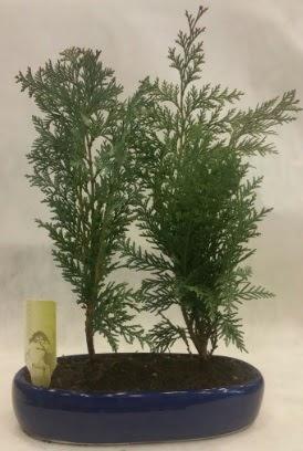 SINIRLI SAYIDA Selvi Ağacı bonsai ikili  Rize çiçek online çiçek siparişi