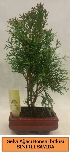Selvi ağacı bonsai japon ağacı bitkisi  Rize çiçek servisi , çiçekçi adresleri