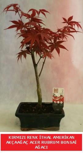 İTHAL ACER RUBRUM BONSAİ AĞACI  Rize 14 şubat sevgililer günü çiçek