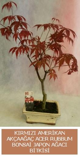 Amerikan akçaağaç Acer Rubrum bonsai  Rize çiçek , çiçekçi , çiçekçilik