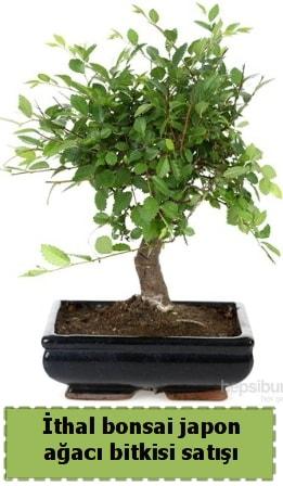 İthal bonsai saksı çiçeği Japon ağacı satışı  Rize uluslararası çiçek gönderme