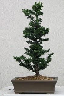 Çam ağacı bonsai bitkisi satışı  Rize çiçek online çiçek siparişi