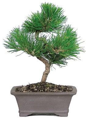 Çam ağacı bonsai japon ağacı bitkisi  Rize hediye sevgilime hediye çiçek