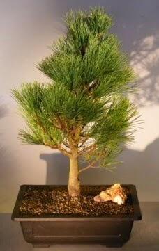 Çam ağacı japon ağacı bitkisi bonsai  Rize çiçek online çiçek siparişi