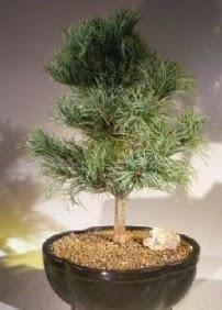 Çam ağacı bonsai bitkisi satışı  Rize kaliteli taze ve ucuz çiçekler