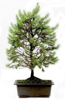 *** STOKTA YOK - Çam ağacı bonsai bitkisi satışı  Rize çiçek satışı