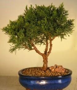 Servi çam bonsai japon ağacı bitkisi  Rize anneler günü çiçek yolla