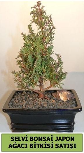 Selvi çam japon ağacı bitkisi bonsai  Rize çiçek online çiçek siparişi