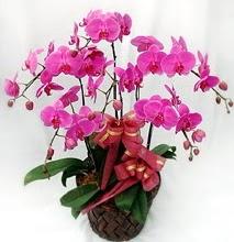Sepet içerisinde 5 dallı lila orkide  Rize kaliteli taze ve ucuz çiçekler