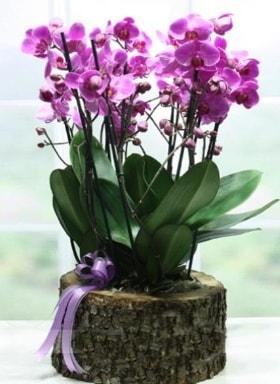 Kütük içerisinde 6 dallı mor orkide  Rize kaliteli taze ve ucuz çiçekler