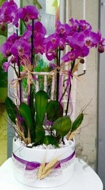 Seramik vazoda 4 dallı mor lila orkide  Rize çiçek gönderme