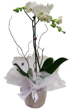 Tek dallı beyaz orkide  Rize çiçekçi telefonları