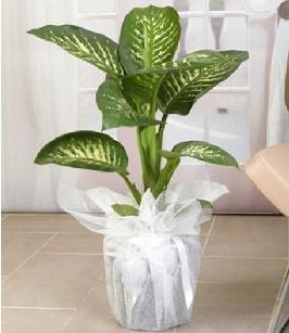 Tropik saksı çiçeği bitkisi  Rize çiçek servisi , çiçekçi adresleri