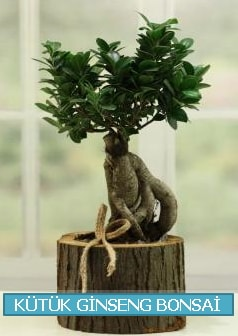 Kütük ağaç içerisinde ginseng bonsai  Rize 14 şubat sevgililer günü çiçek