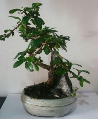 S şeklinde ithal bonsai ağacı  Rize anneler günü çiçek yolla