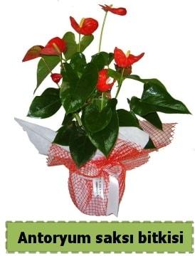 Antoryum saksı bitkisi satışı  Rize çiçek mağazası , çiçekçi adresleri