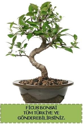 Ficus bonsai  Rize 14 şubat sevgililer günü çiçek