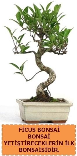 Ficus bonsai 15 ile 25 cm arasındadır  Rize anneler günü çiçek yolla