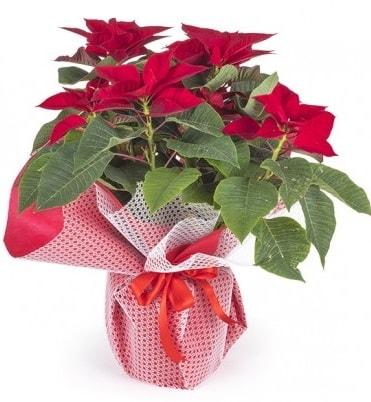 Atatürk çiçeği saksı bitkisi  Rize 14 şubat sevgililer günü çiçek