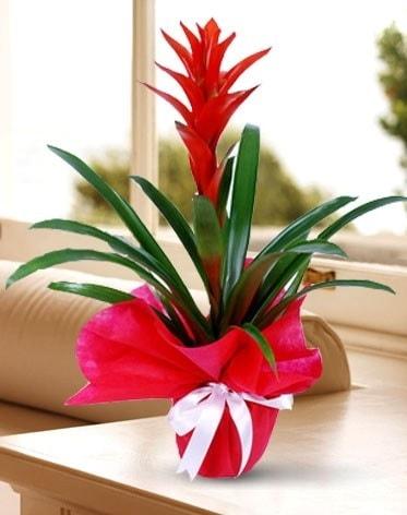 Guzmanya Saksı Çiçeği  Rize anneler günü çiçek yolla