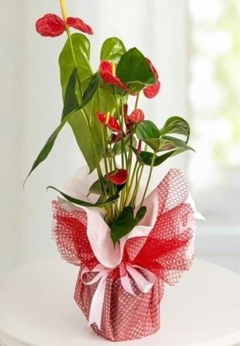 Anthurium Saksı Çiçeği  Rize güvenli kaliteli hızlı çiçek