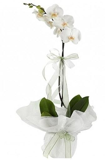 Tekli Beyaz Orkide  Rize güvenli kaliteli hızlı çiçek