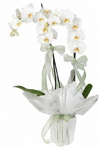 Çift Dallı Beyaz Orkide  Rize hediye çiçek yolla