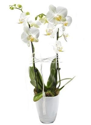 2 dallı beyaz seramik beyaz orkide saksısı  Rize 14 şubat sevgililer günü çiçek