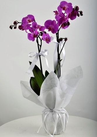 Çift dallı saksıda mor orkide çiçeği  Rize çiçek yolla