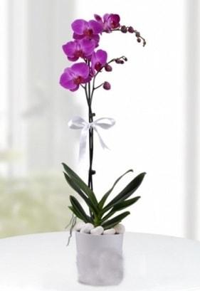 Tek dallı saksıda mor orkide çiçeği  Rize İnternetten çiçek siparişi