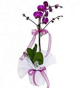 Tek dallı saksıda ithal mor orkide çiçeği  Rize İnternetten çiçek siparişi