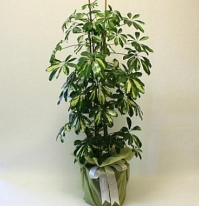 Şeflera salon bitkisi  Rize hediye sevgilime hediye çiçek