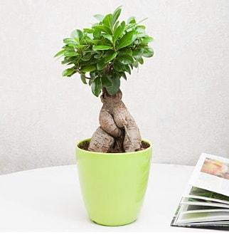 Ficus Ginseng Bonsai  Rize ucuz çiçek gönder