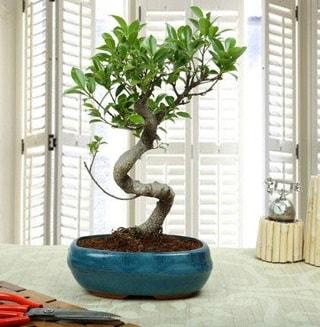 Amazing Bonsai Ficus S İthal  Rize çiçek gönderme sitemiz güvenlidir