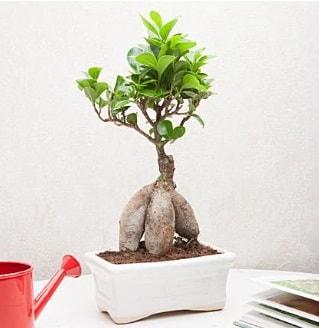Exotic Ficus Bonsai ginseng  Rize internetten çiçek satışı