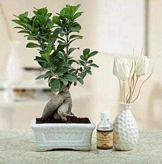 Ginseng ficus bonsai  Rize İnternetten çiçek siparişi