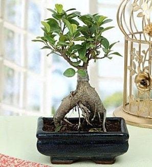 Appealing Ficus Ginseng Bonsai  Rize hediye çiçek yolla