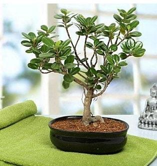 Lovely Ficus Iceland Bonsai  Rize hediye çiçek yolla