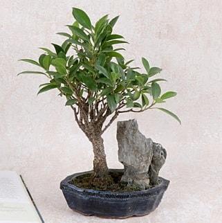 Japon ağacı Evergreen Ficus Bonsai  Rize 14 şubat sevgililer günü çiçek