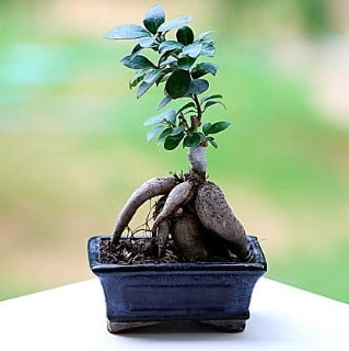 Marvellous Ficus Microcarpa ginseng bonsai  Rize çiçek yolla
