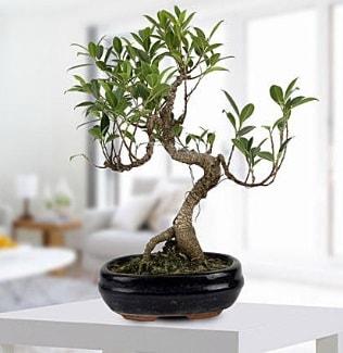 Gorgeous Ficus S shaped japon bonsai  Rize online çiçek gönderme sipariş