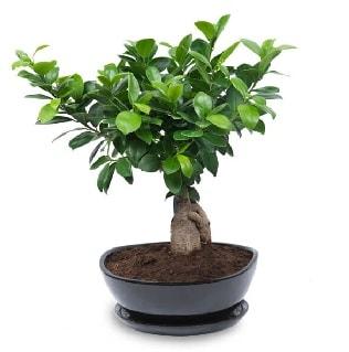 Ginseng bonsai ağacı özel ithal ürün  Rize çiçek yolla , çiçek gönder , çiçekçi